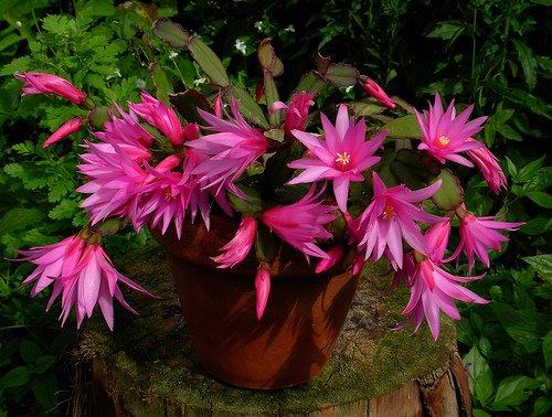 Çoğu zaman çiçekçiden hevesle alınan yılbaşı çiçeği ertesi